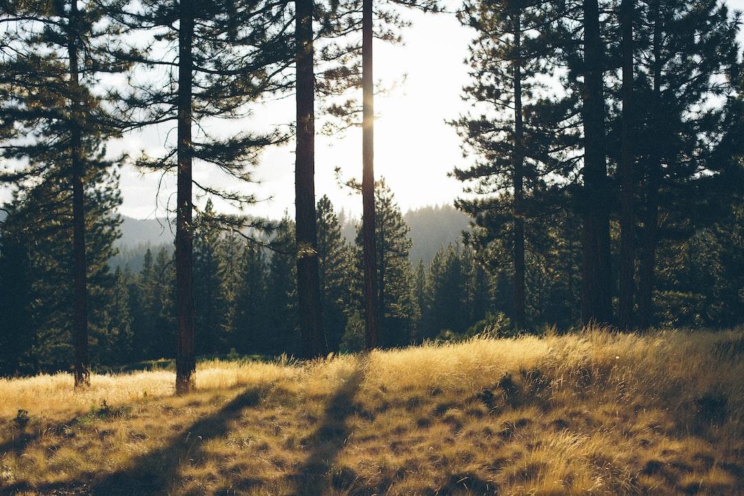 Golden grass and dark green trees