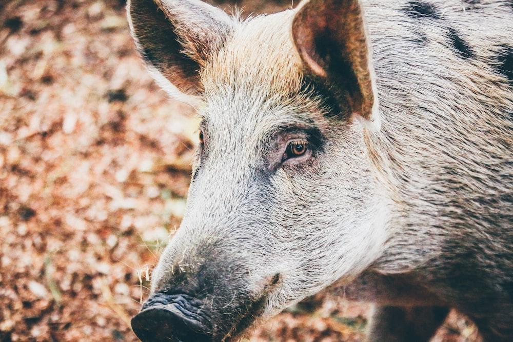 photo of boar