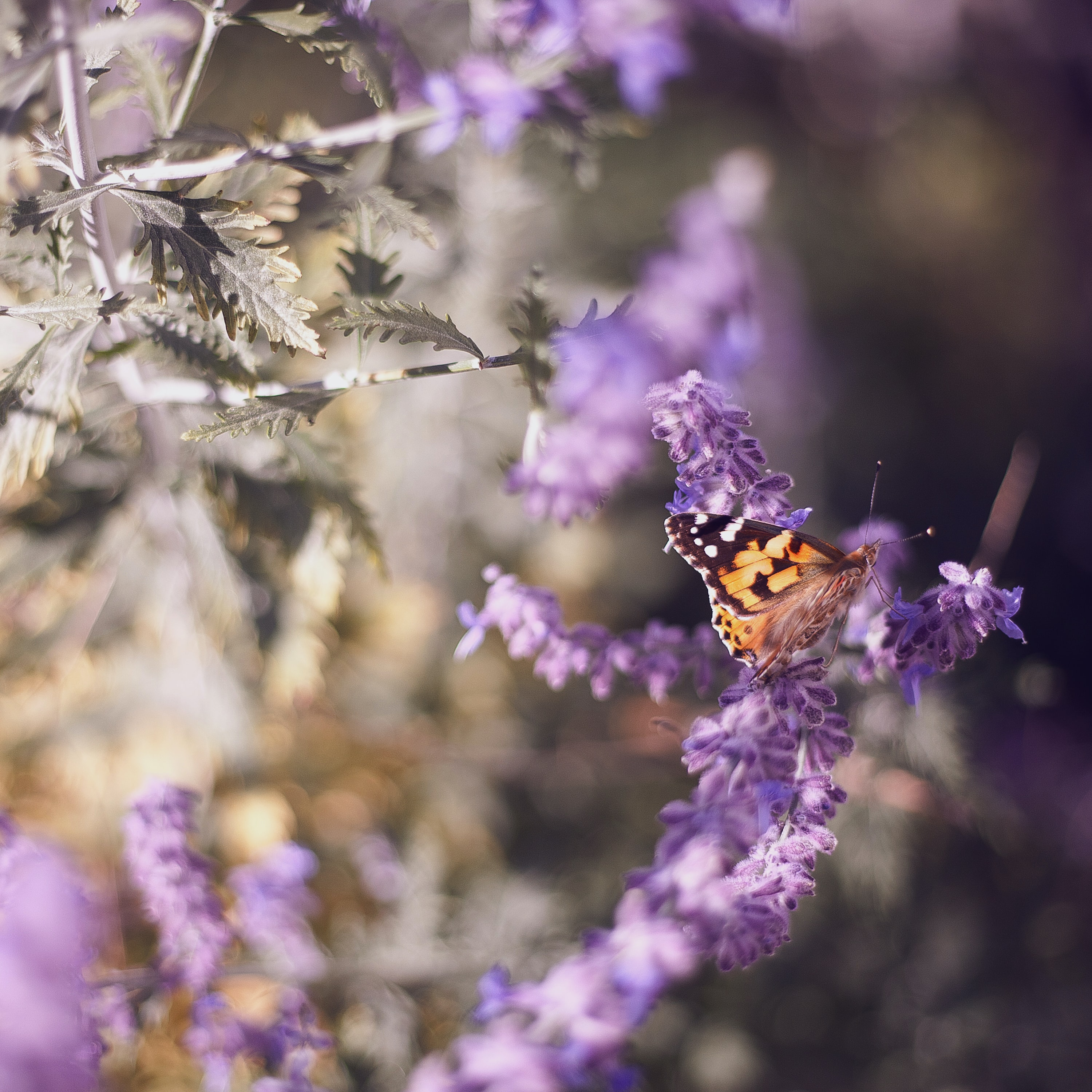 A monarch butterfly sitting on lavender flowers