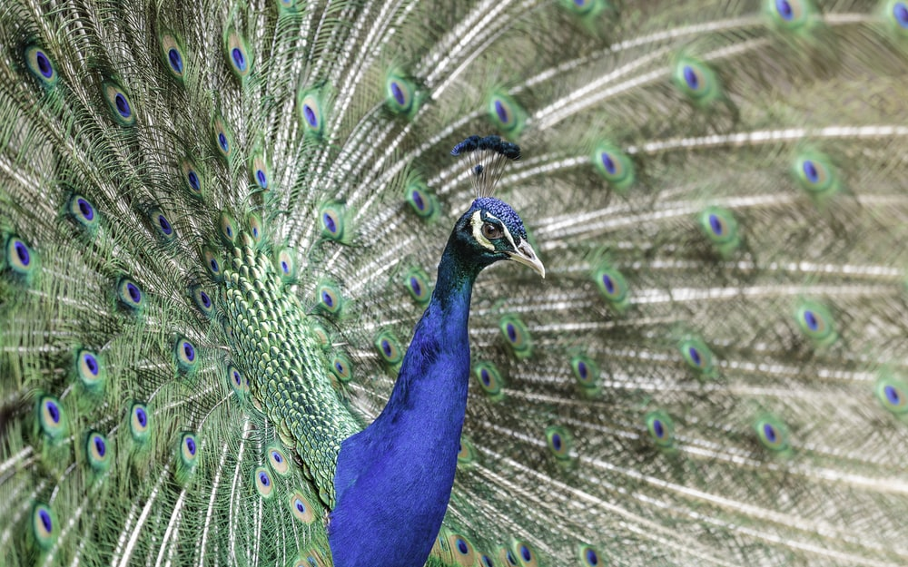depth photography of blue and green peacock