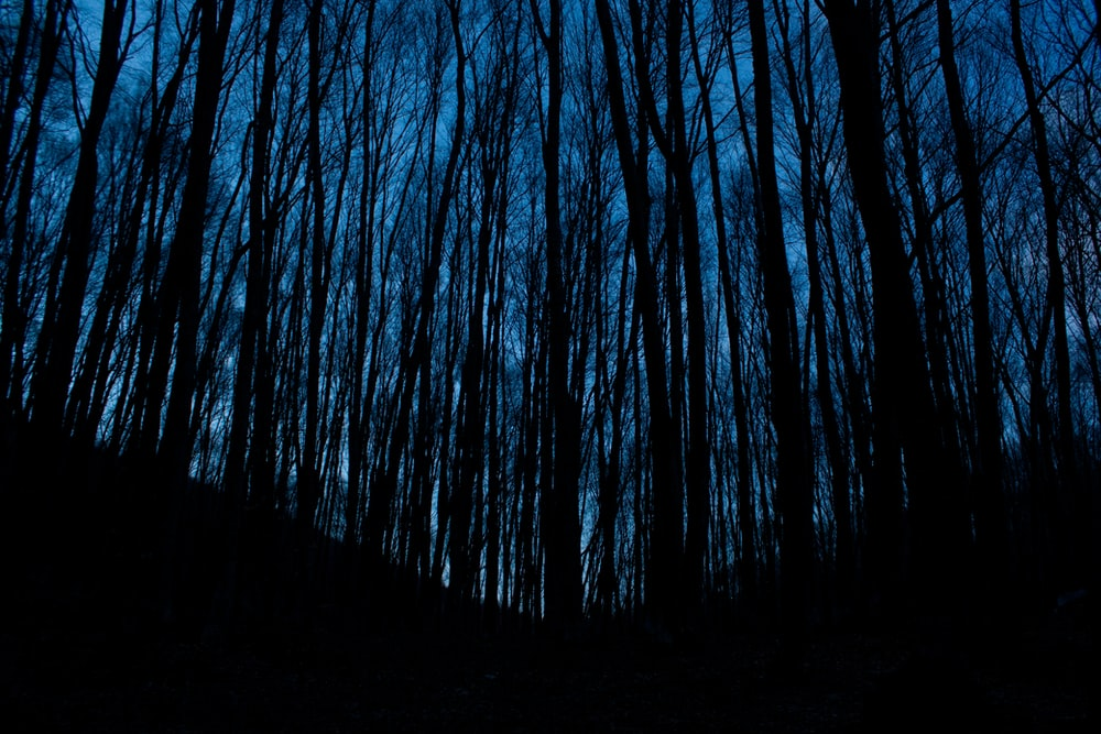 silhouette photo of forest trees