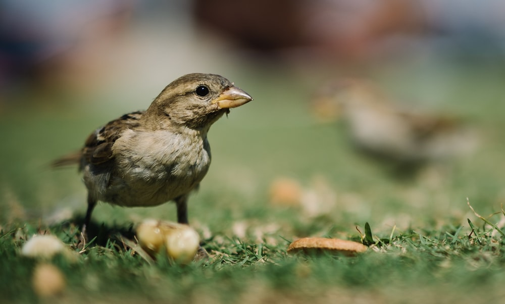 closeup photo of brown bird on green grass
