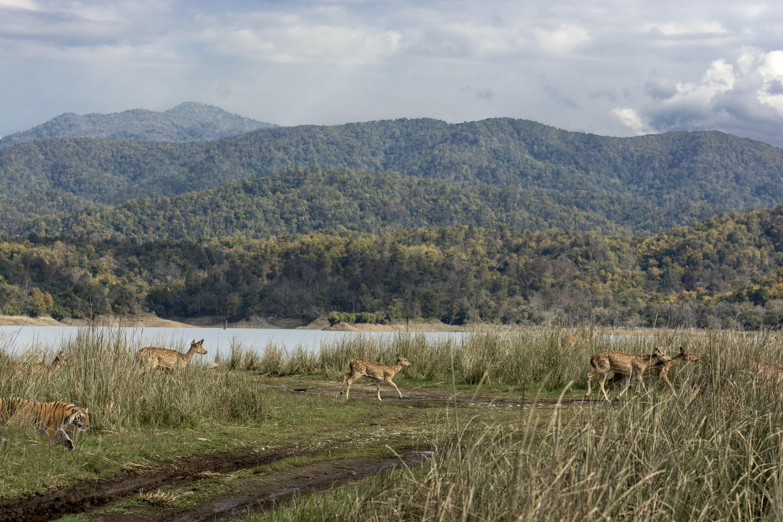 A herd of deers running away from a tiger in Jim Corbett National Park