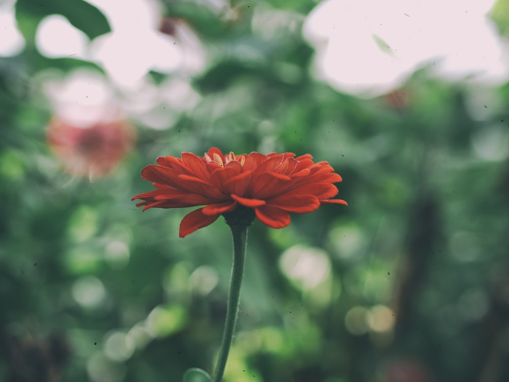 shallow focus photography of red flower