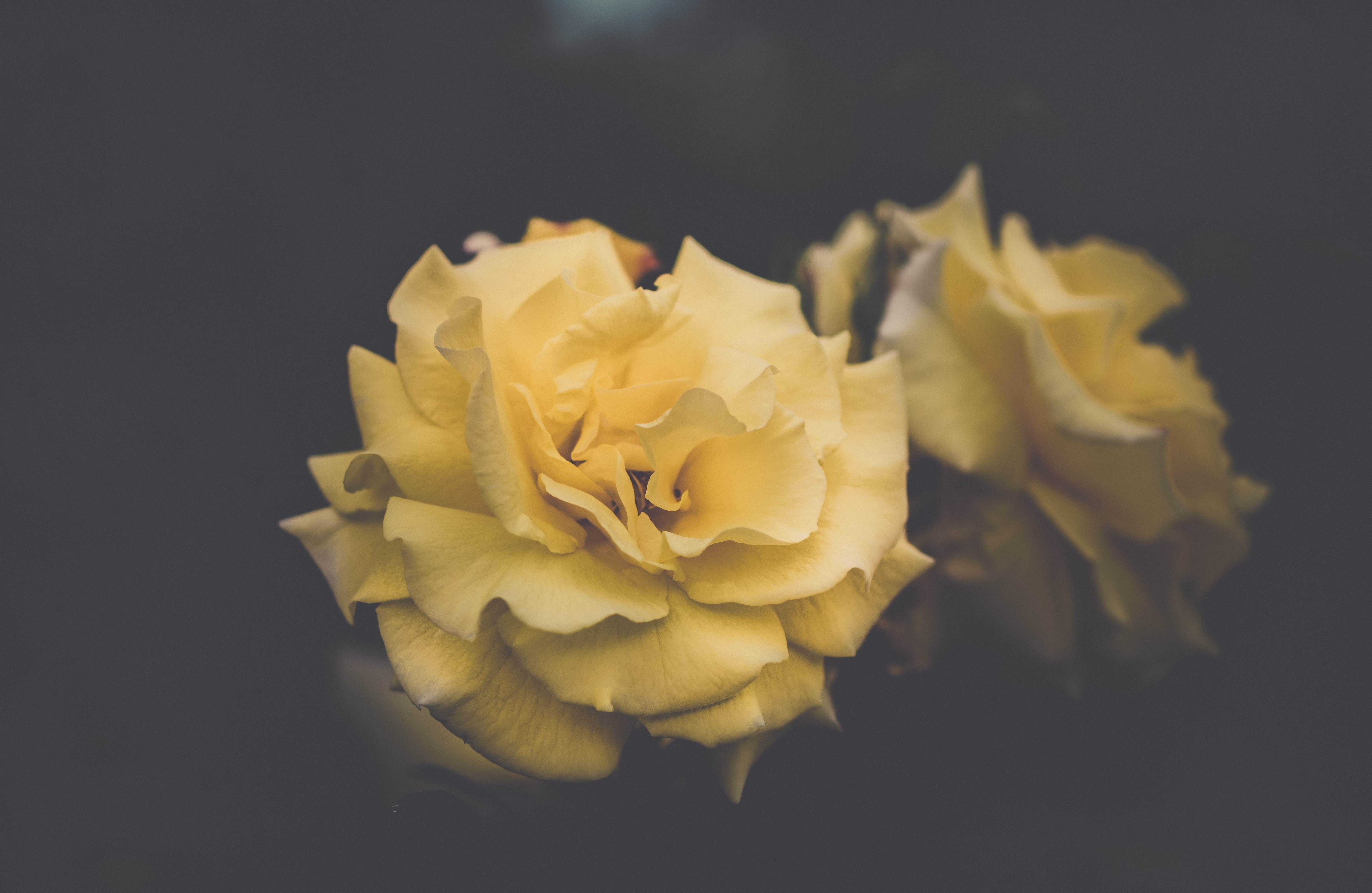 Yellow rose-like flowers with delicate petals against a dark background