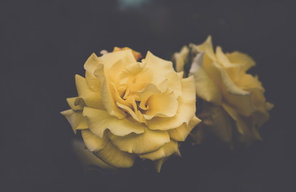 Yellow rose pictures hd download free images on unsplash yellow petaled flowers mightylinksfo