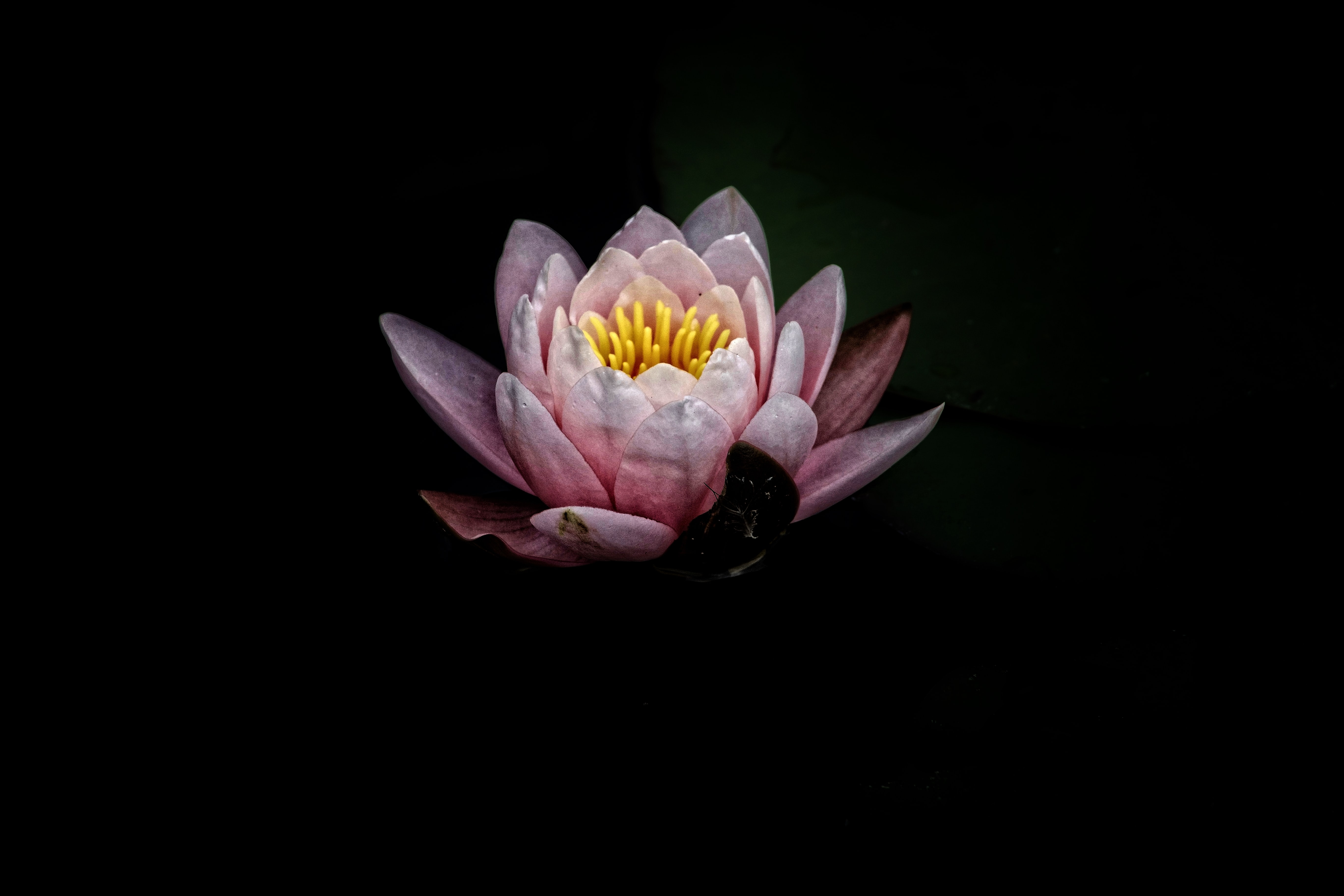 A light pink water lily against a black background