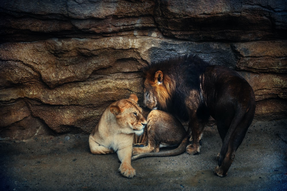 two lion and lioness near rock formation