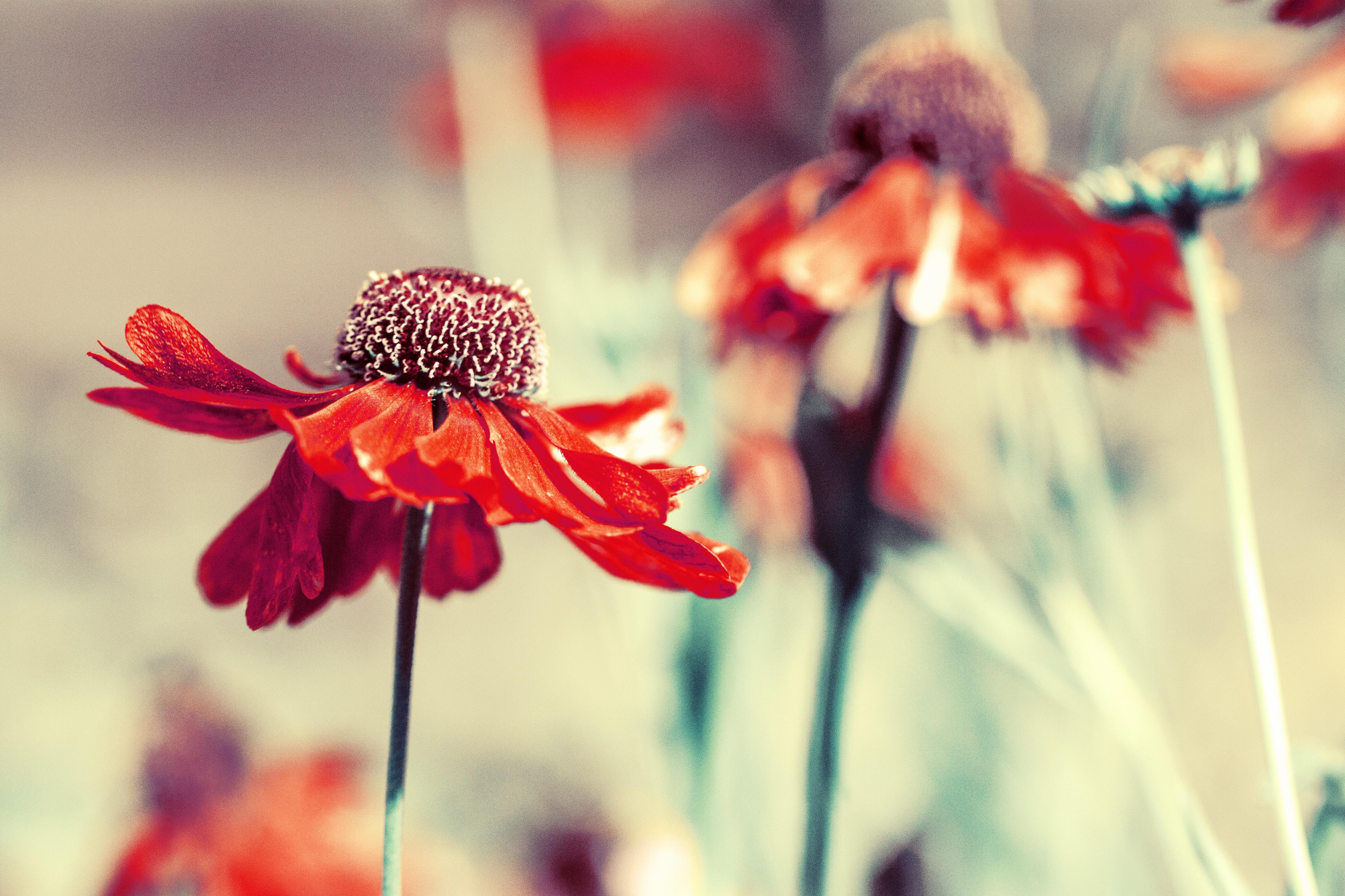 Red wildflowers wilt in a field