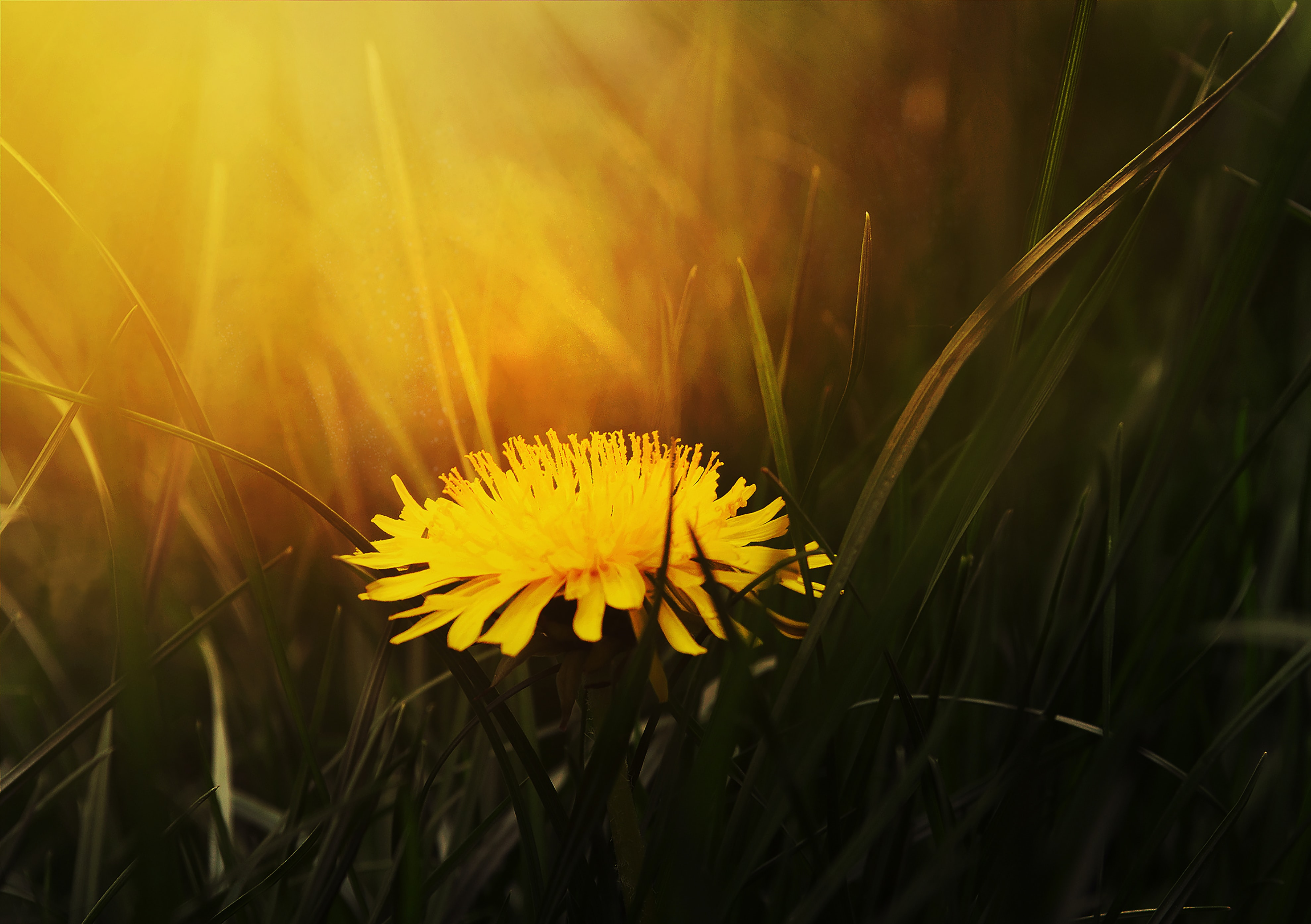 A close-up of a yellow dandelion batched in warm light