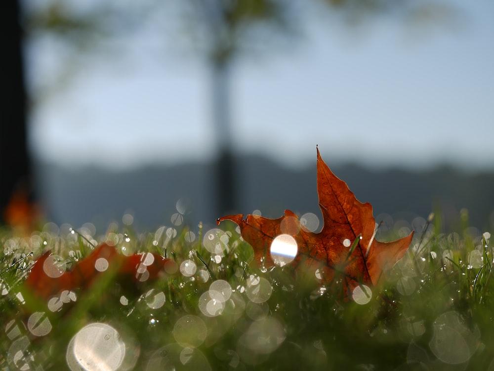 macro photography of maple leaf