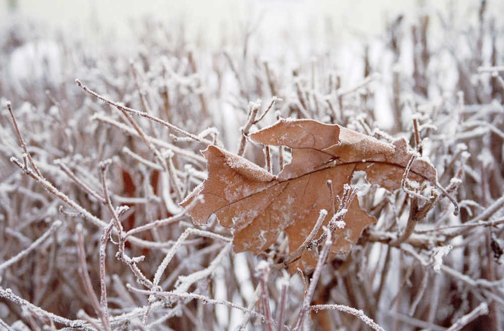 dried brown leaf on snow filled bare tree
