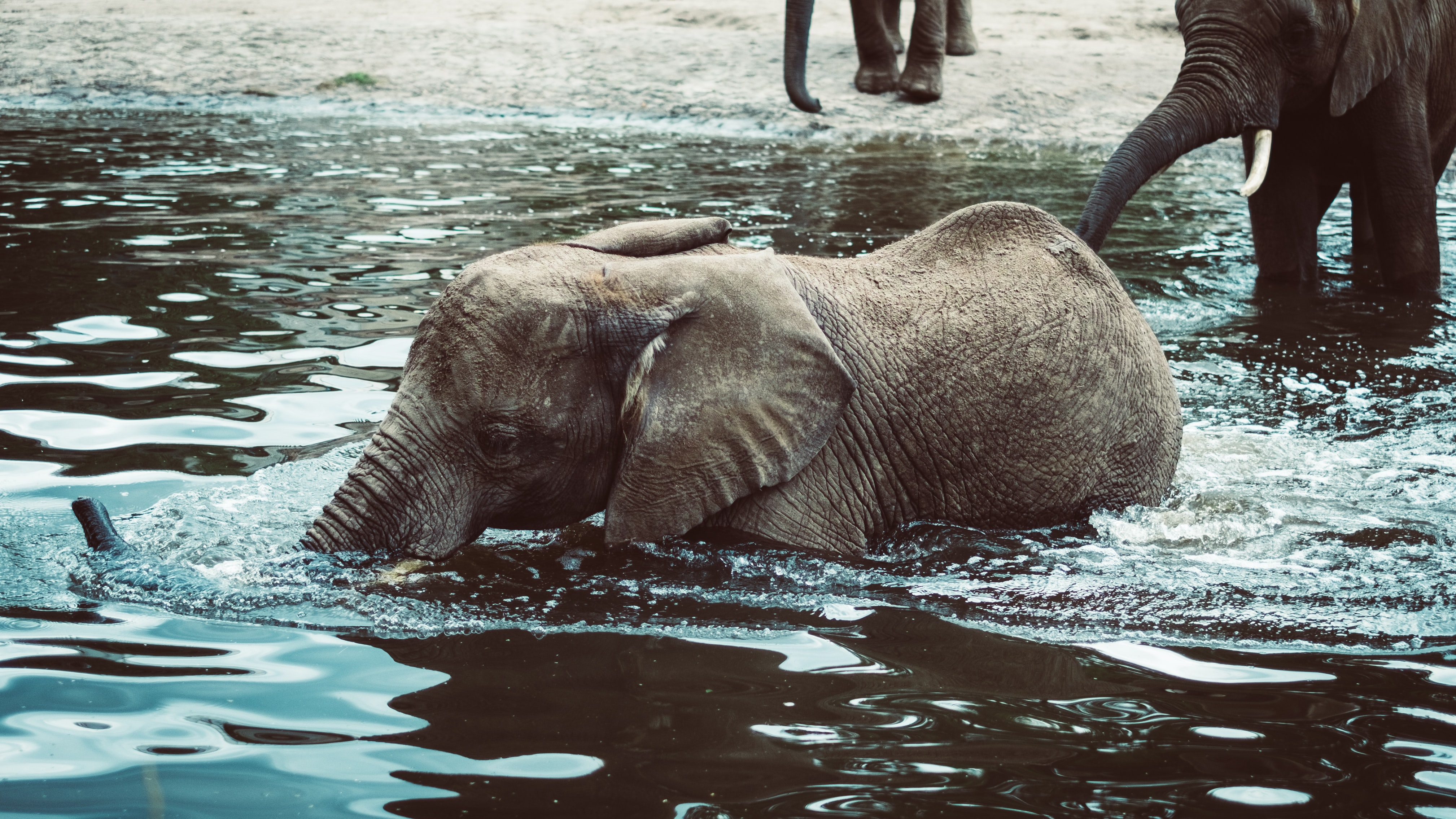 A playful baby elephant wading deep into the water with other elephants at the back