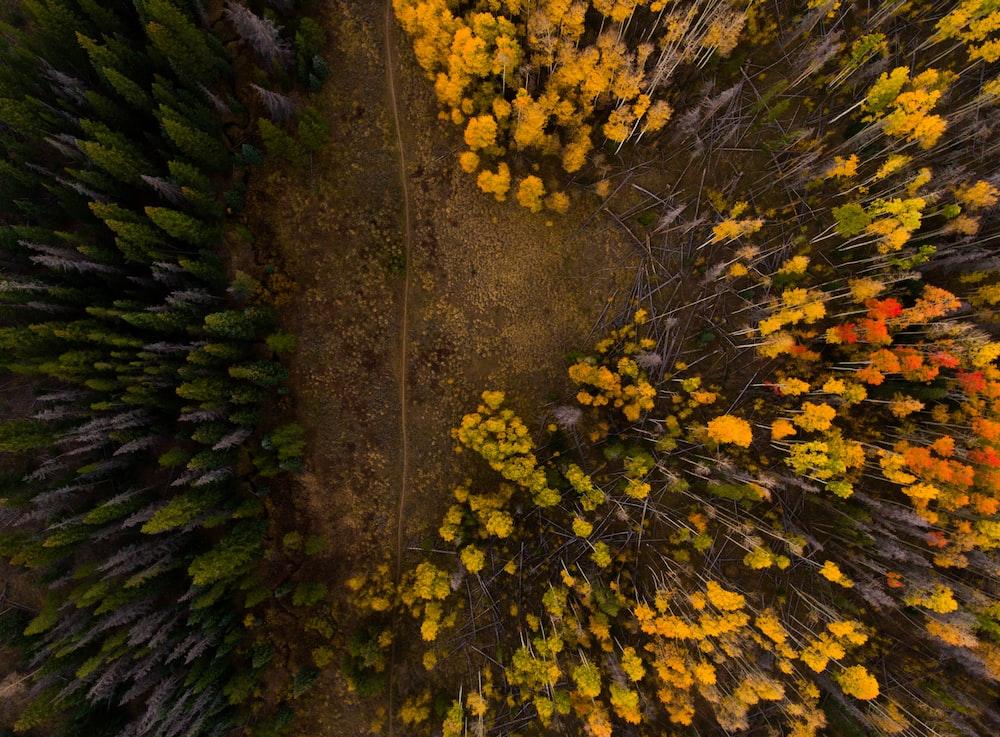 aerial photo of yellow and orange trees