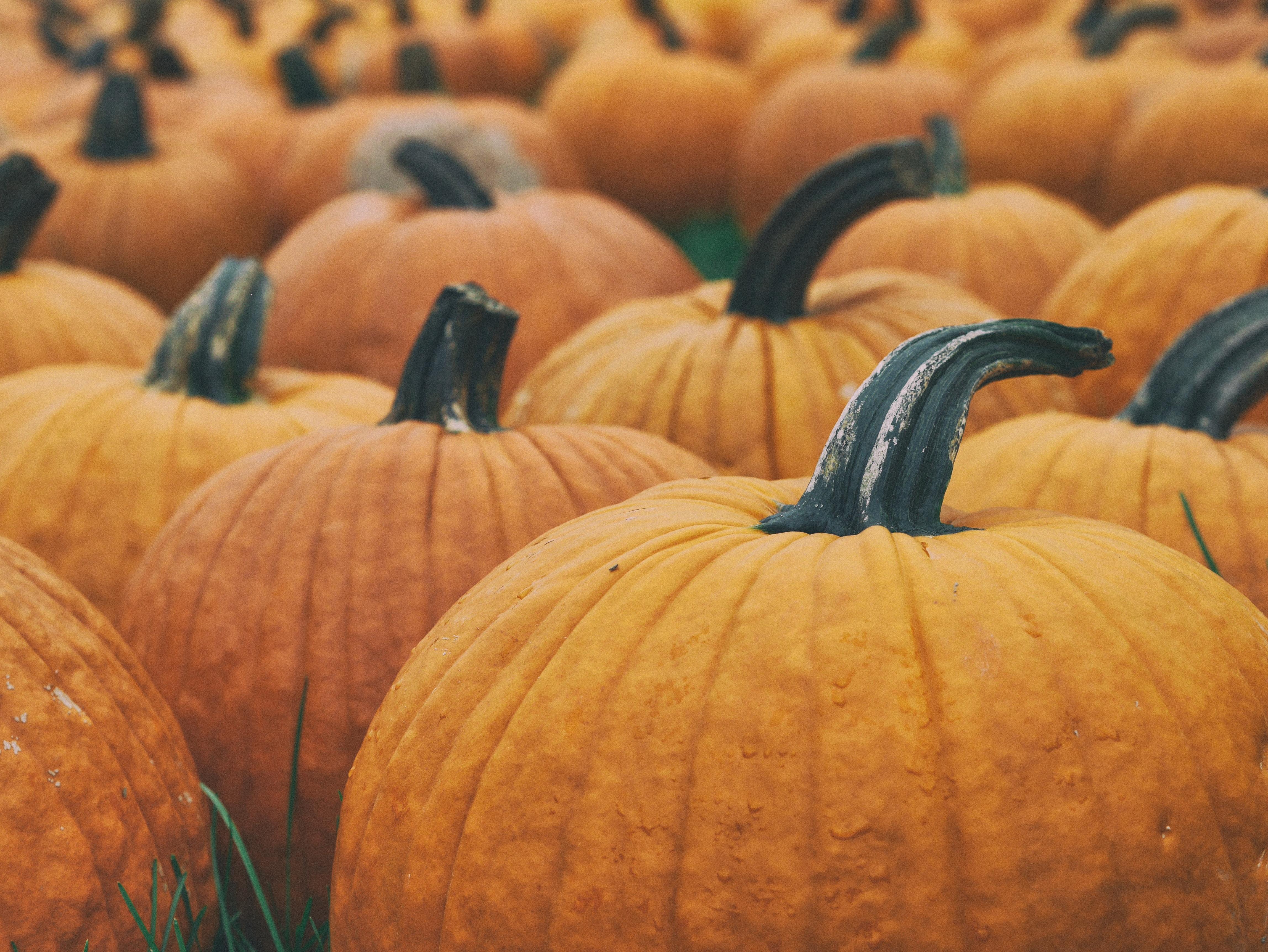 Macro shot of a pumpkin patch.