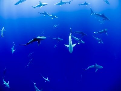 This photo was taken on a snorkel trip out a few miles off the coast of Oahu. I had seen an add for swimming with sharks and couldn't pass the opportunity up. They took us on a boat out to spot in the ocean where the sharks gathered and we just jumped in no cage or anything! There were at least 40+ sharks by the guides estimate. It was one of the most surreal and coolest experiences of my life to share the open ocean with these creatures! I happened to snap this photo with my GoPro.
