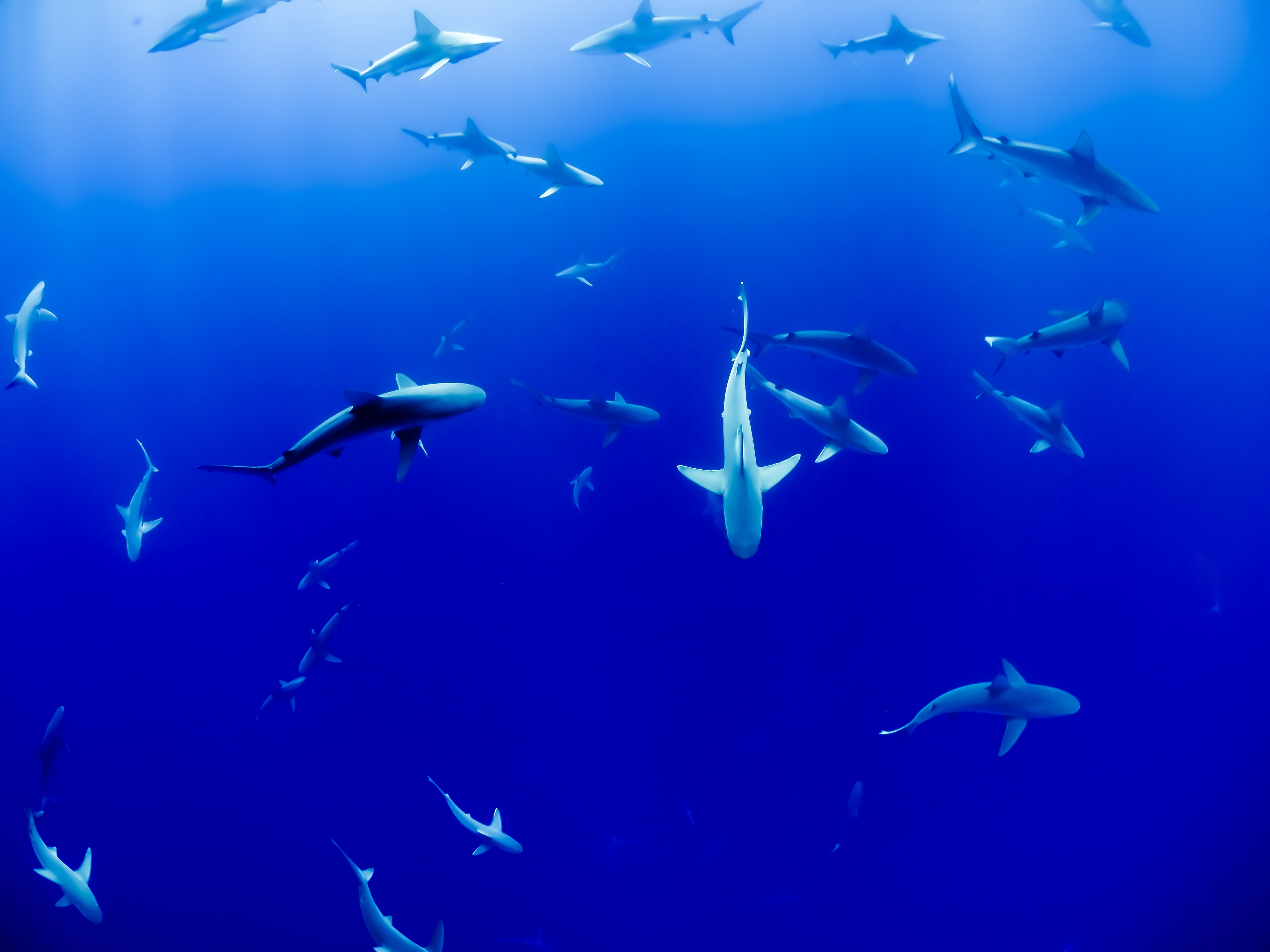 A large group of sharks in deep blue water