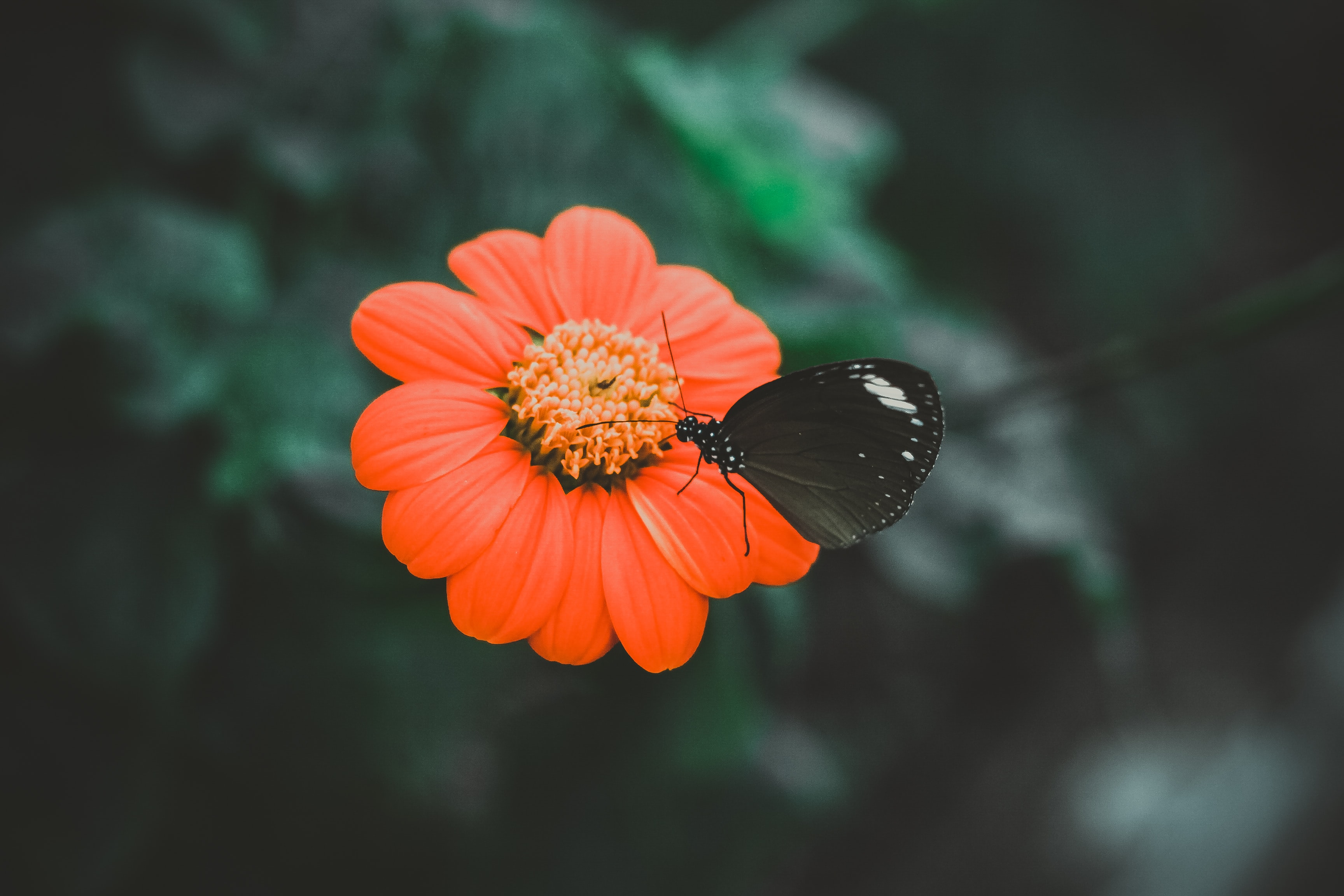 A black butterfly on a bright red flower