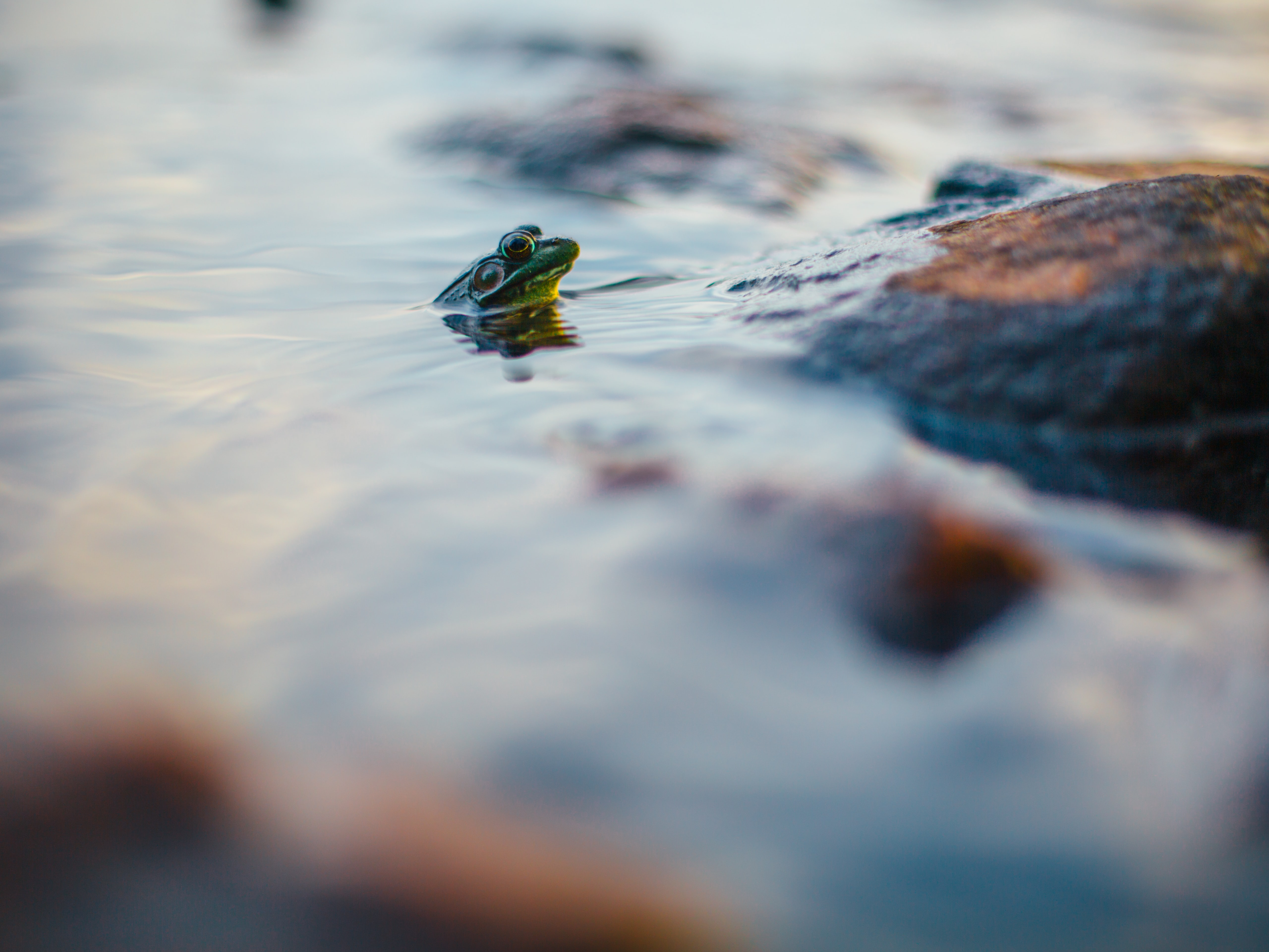 A green frog sticking its head out of the water by a rock at Algonquin Park