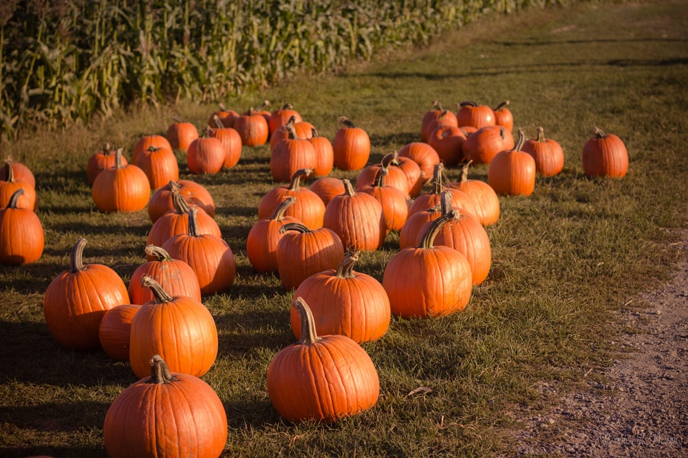 photography of pumpkins on ground at daytime