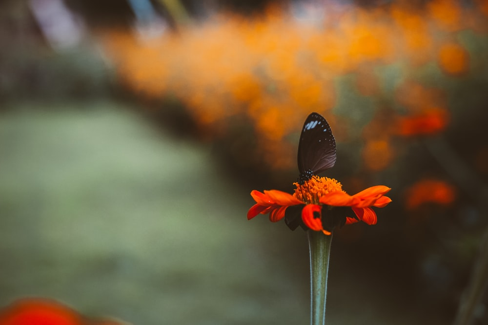 shallow focus photography of black butterfly on red petal flower