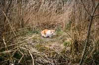 adult orange tabby cat surrounded by dried plants