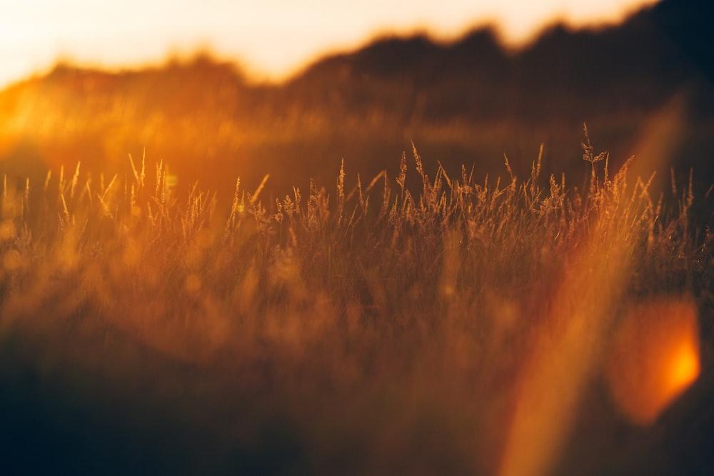 green grass during golden hour