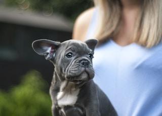 gray Boston terrier puppy