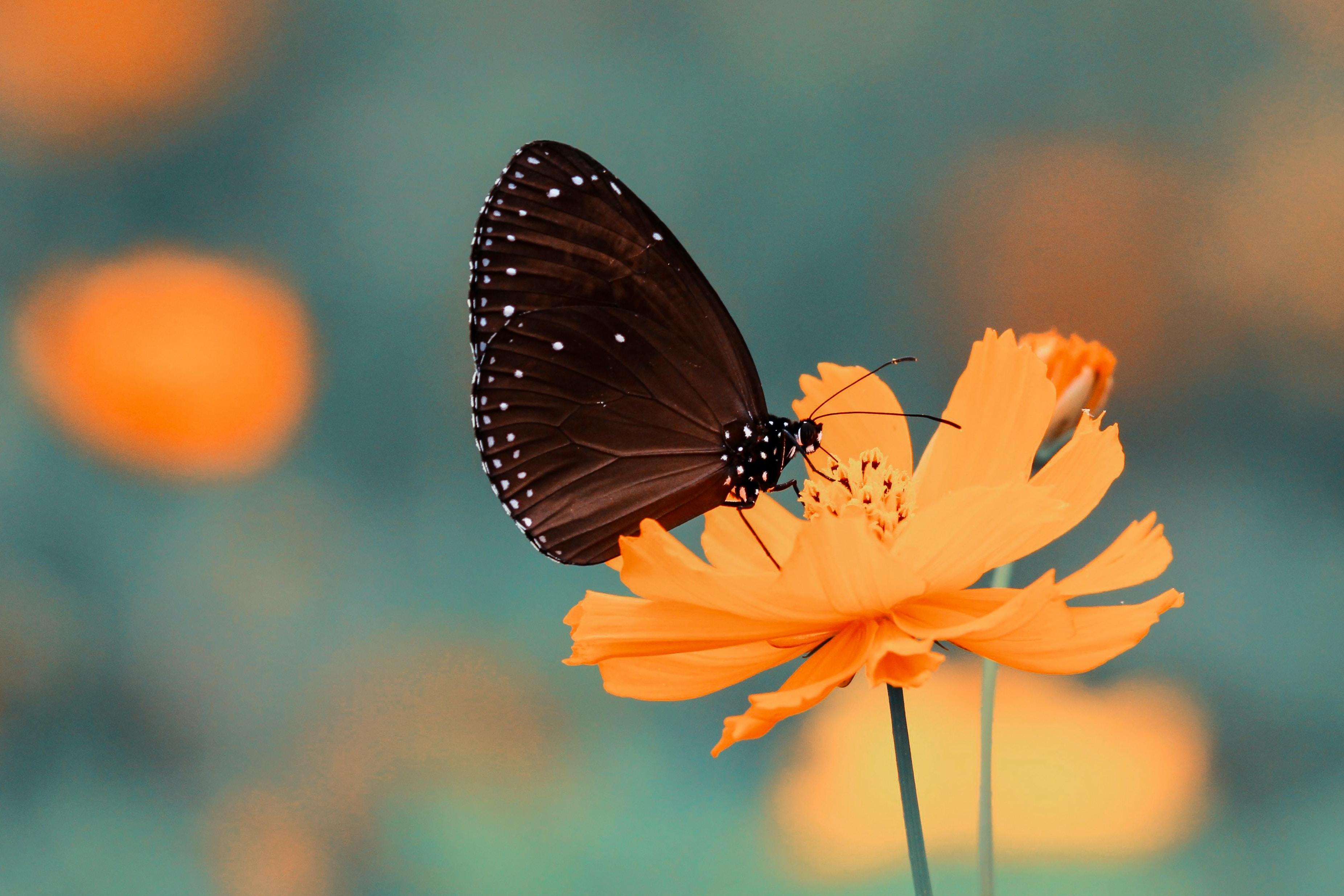 A black butterfly on a bright orange flower