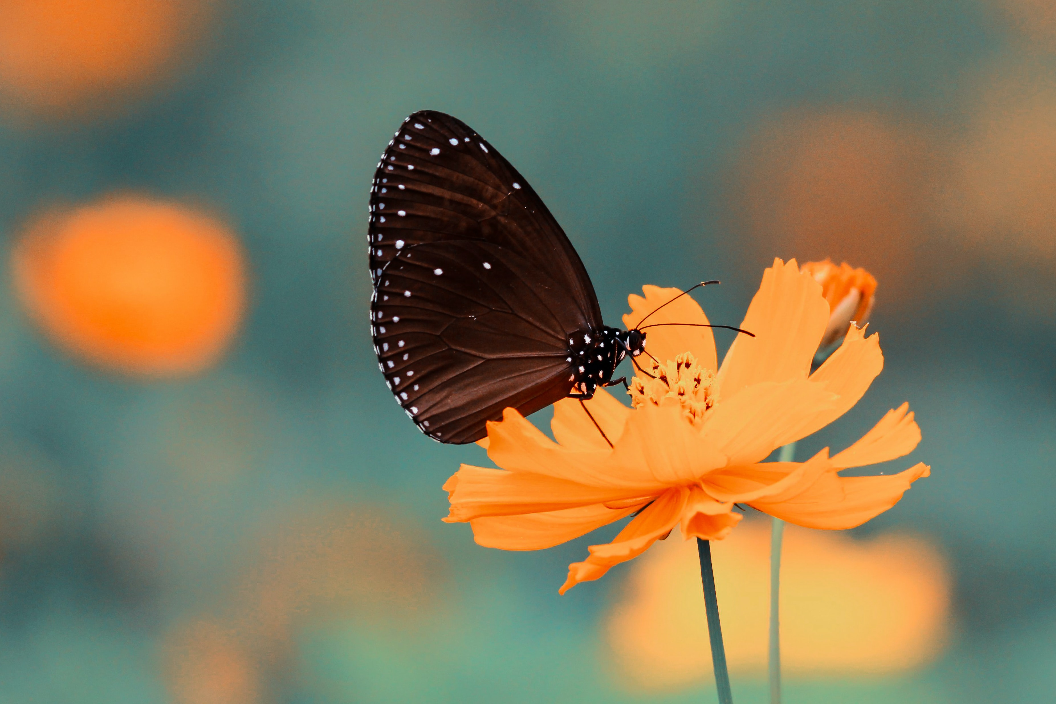 A black butterfly on a bright orange flower