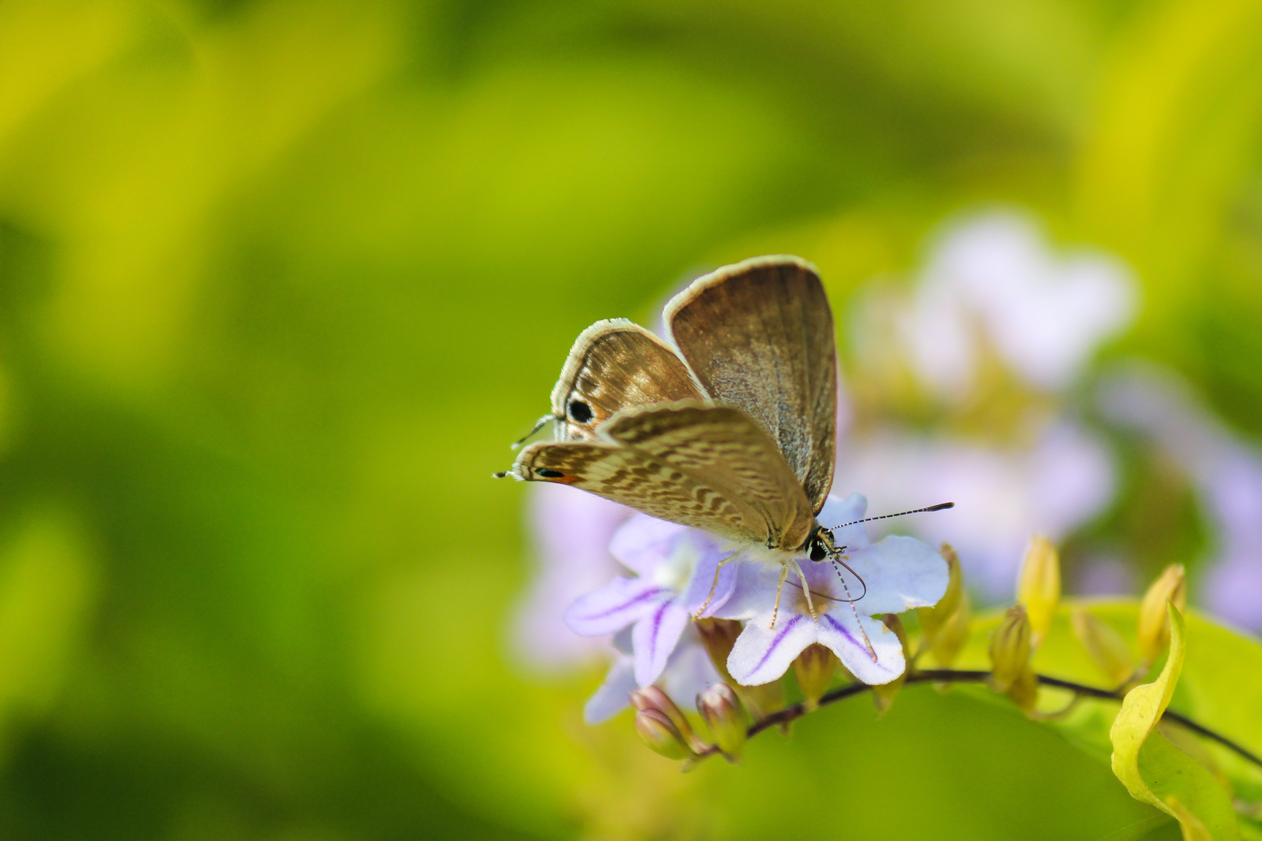 A beige-winged butterfly on light violet flowers