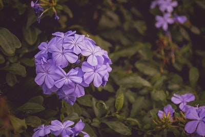 closeup photo of purple petaled flowers violet teams background