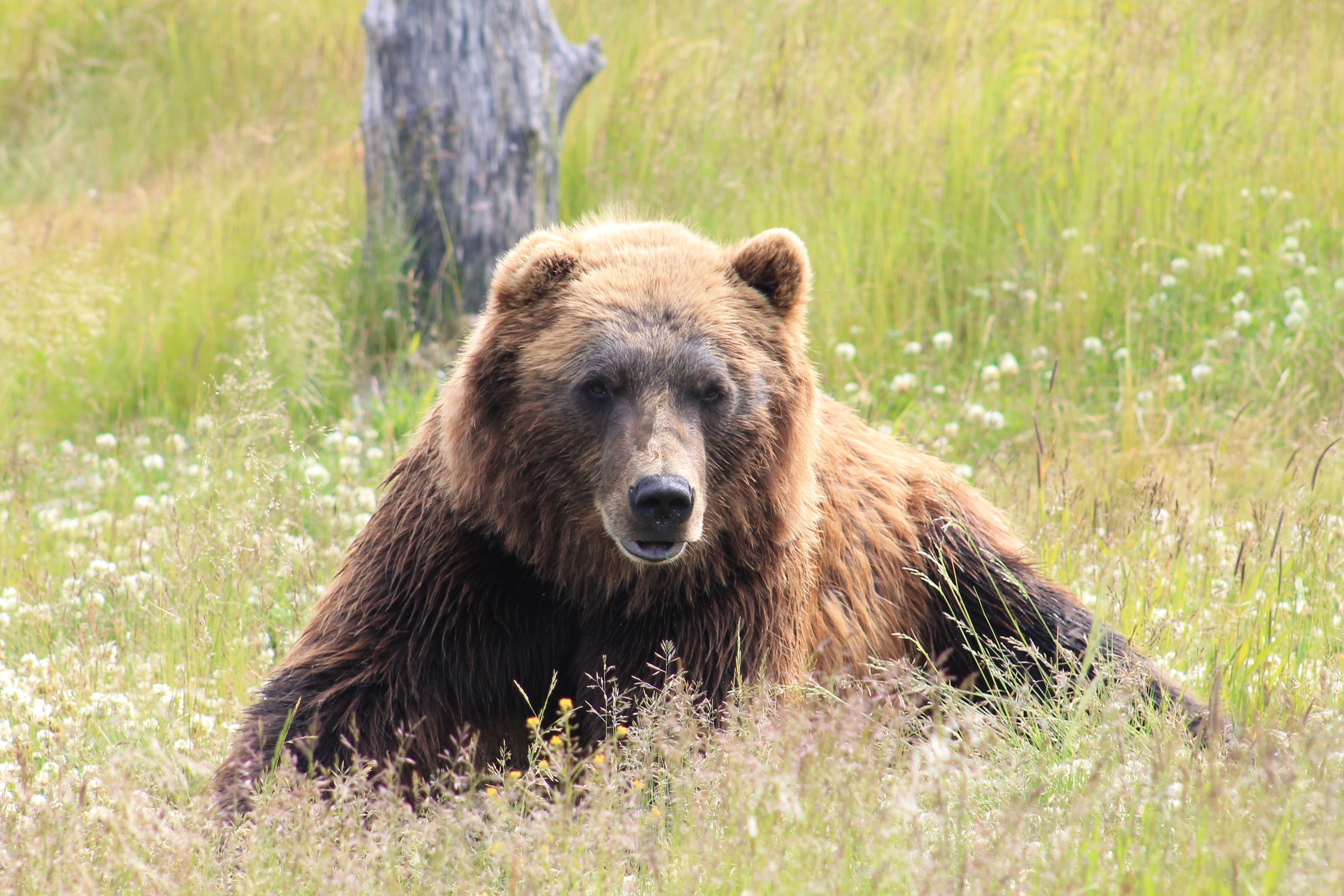 brown bear lying on grass field during daytime