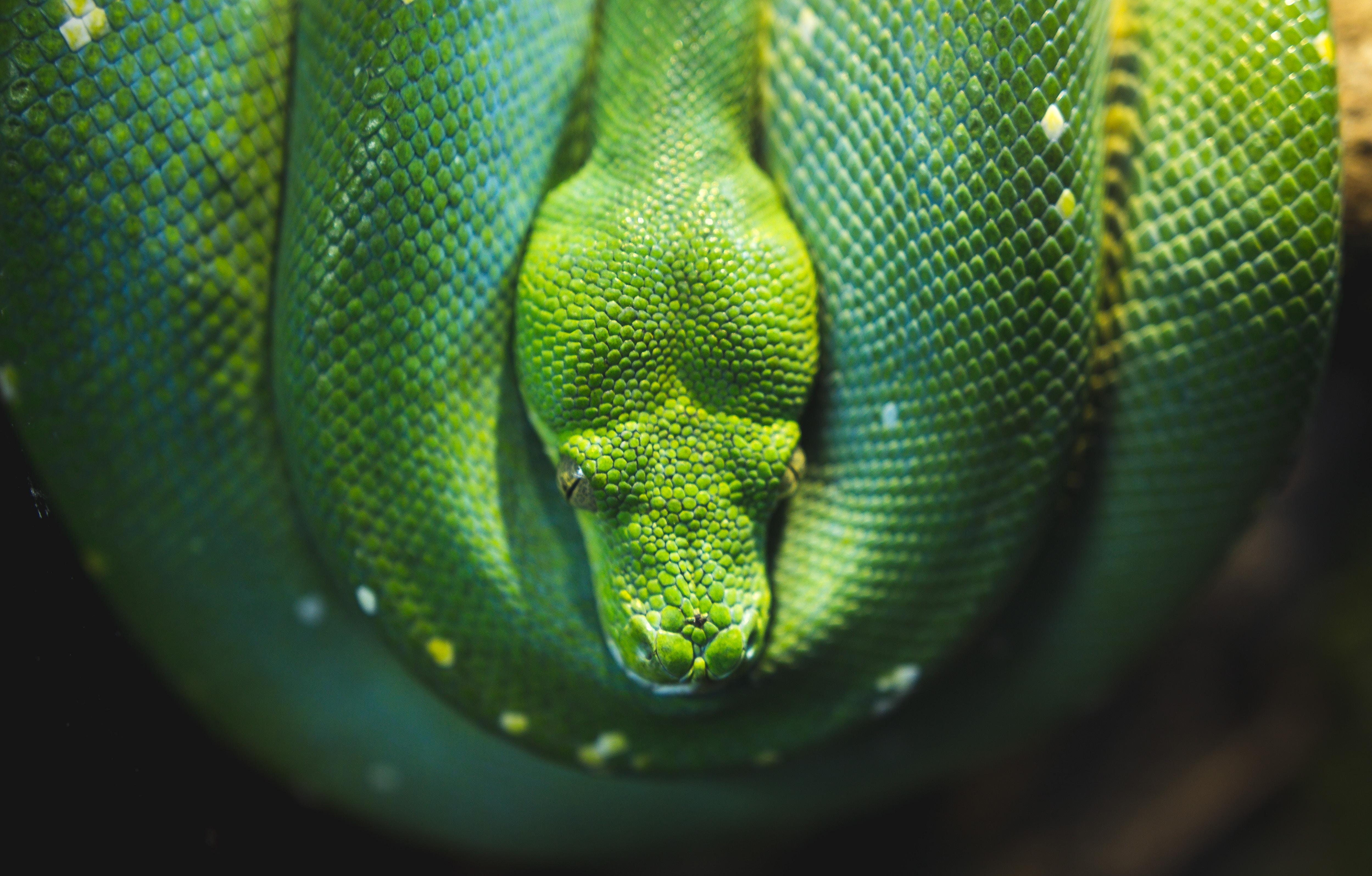 photo of green viper