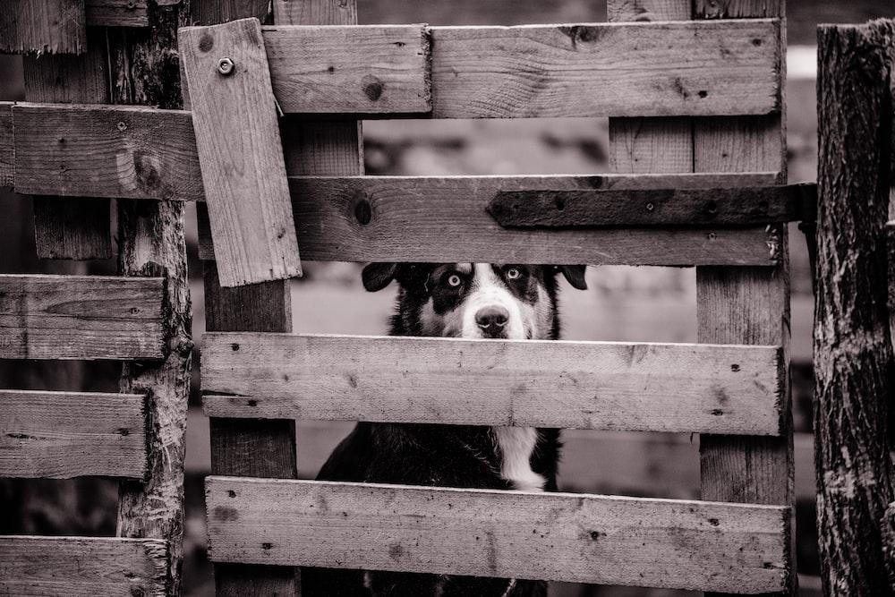 dog sitting behind wooden fence