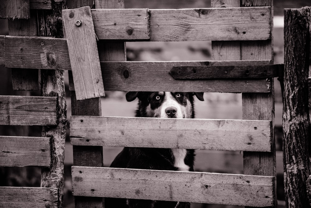 dog sitting behind wooden fence