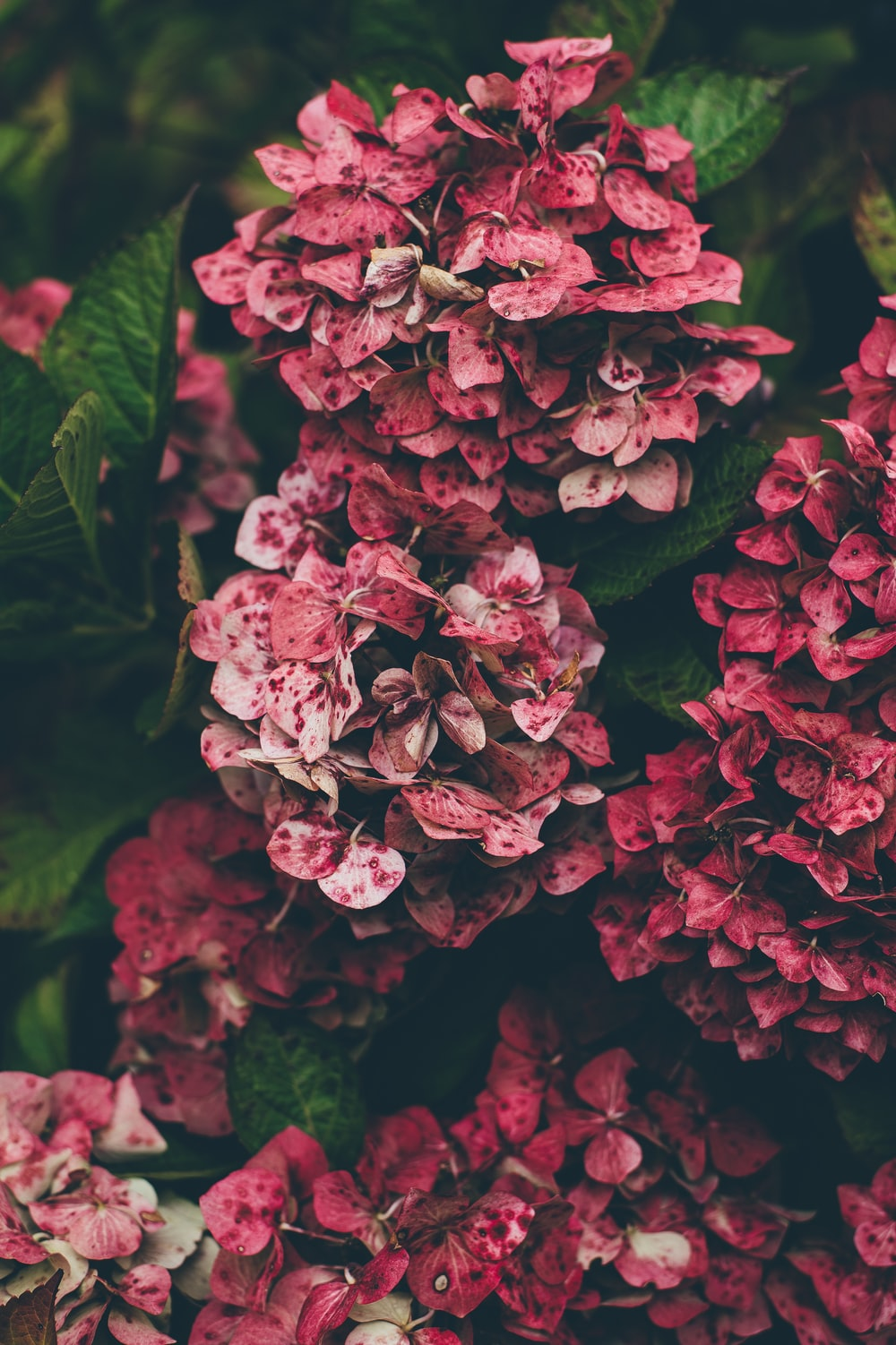 pink hydrangea flowers in close-up photography