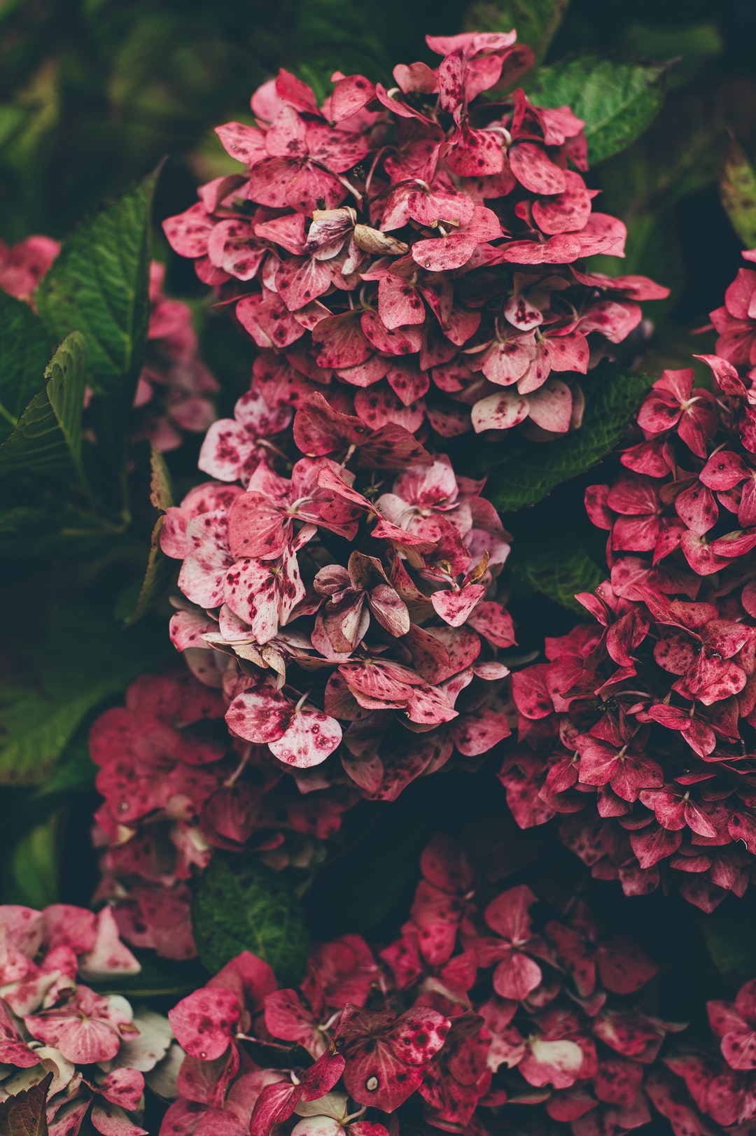 Red hydrangea clusters