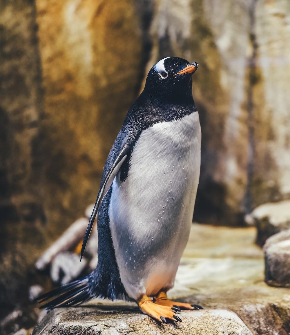 penguin on rock
