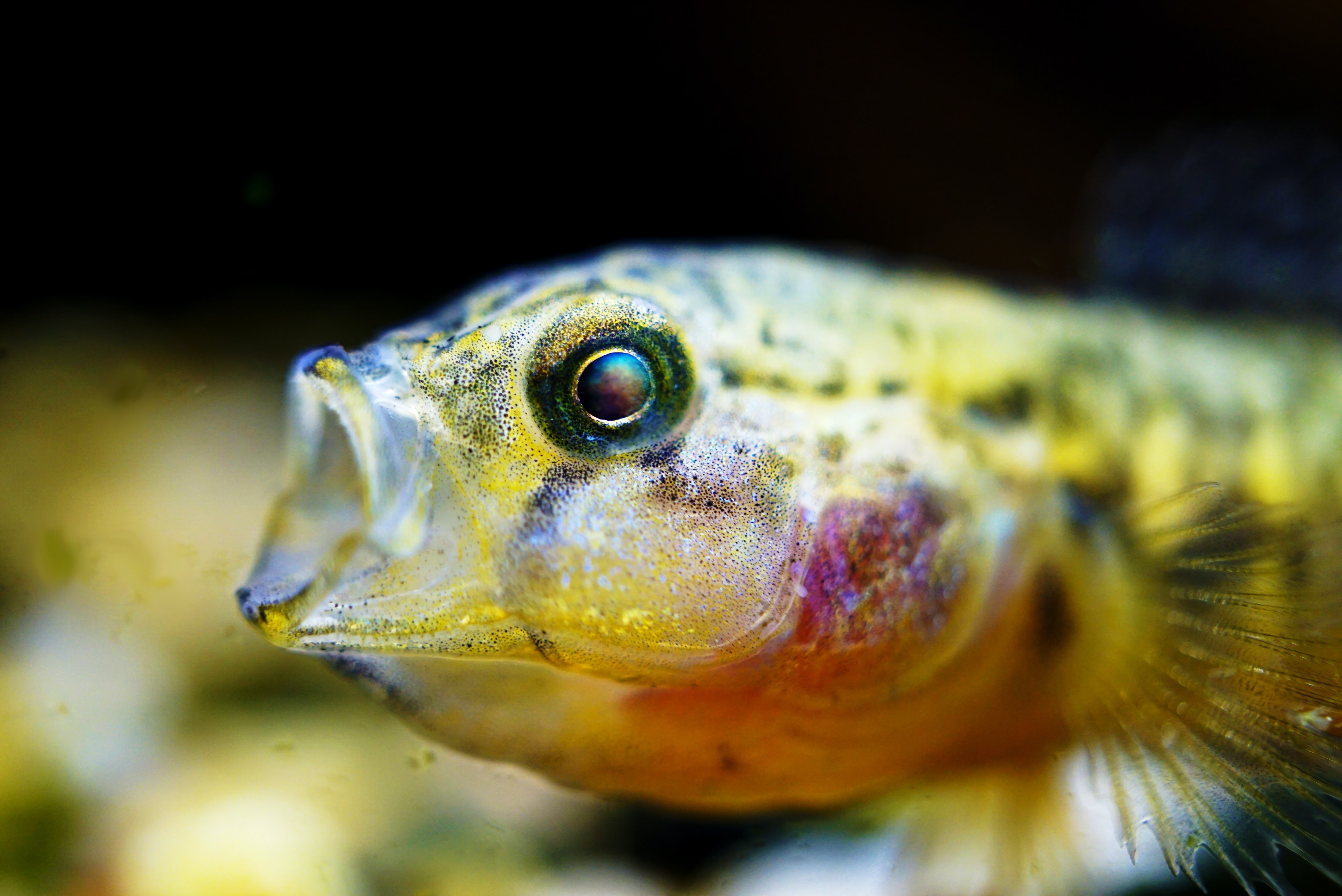 closeup photo of yellow and black fish