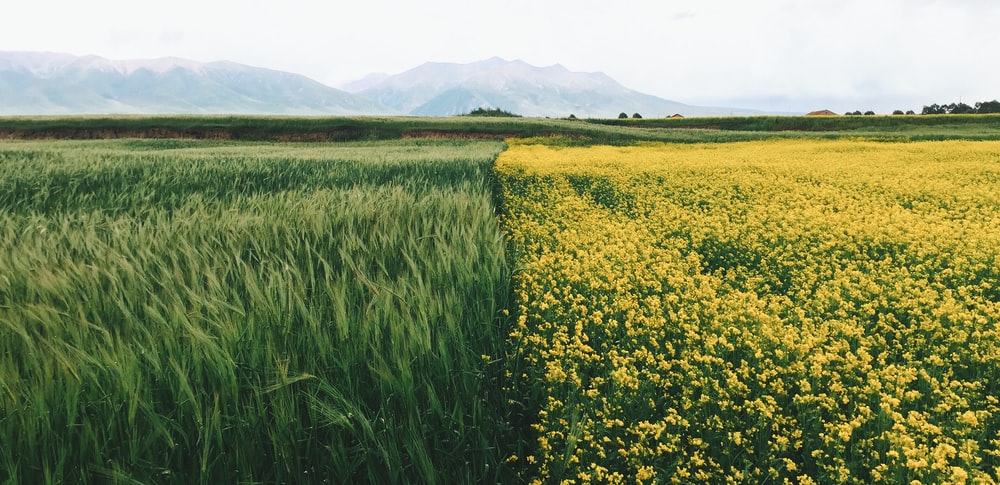 field of yellow petaled flowers