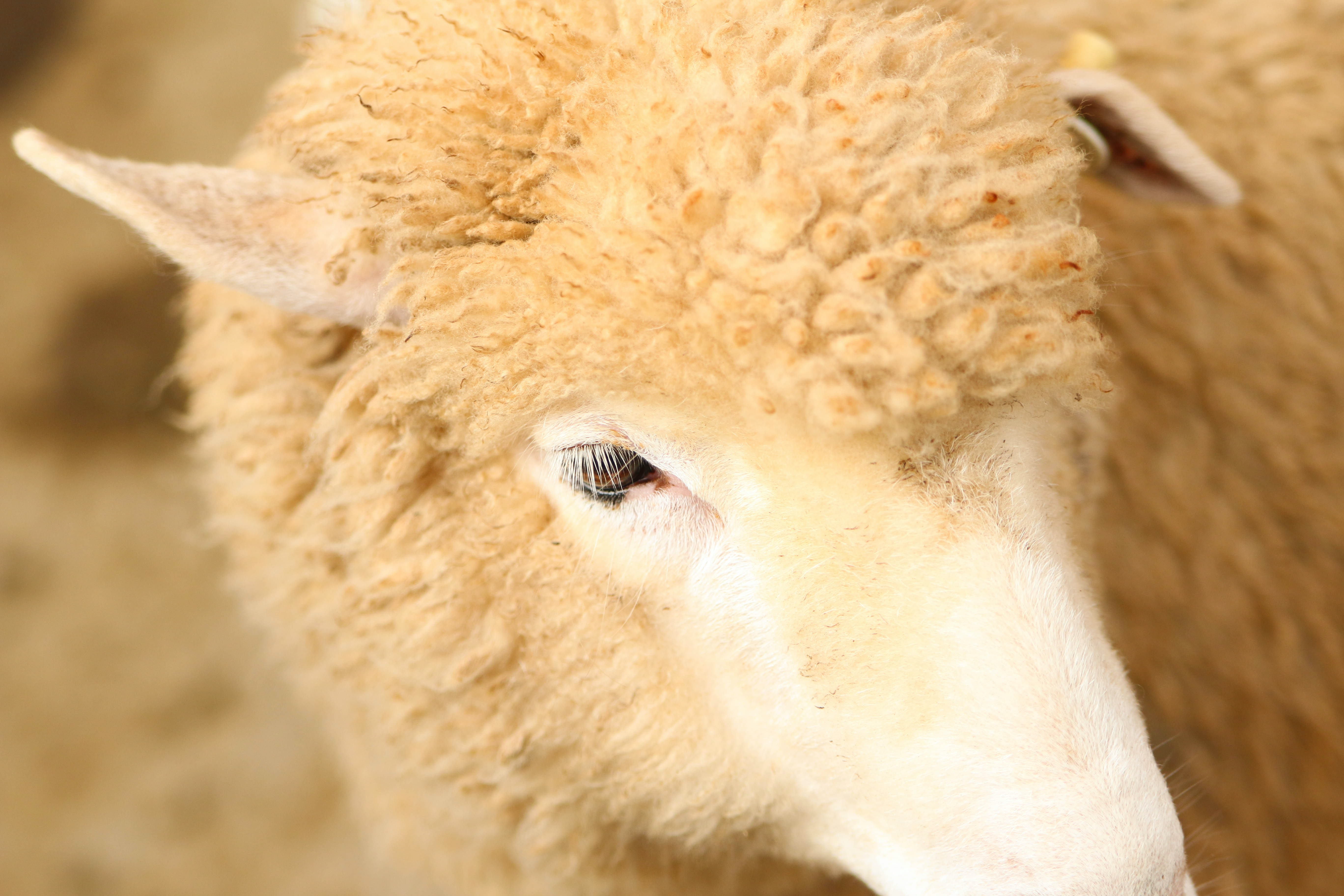Macro of one side of a sheep's head