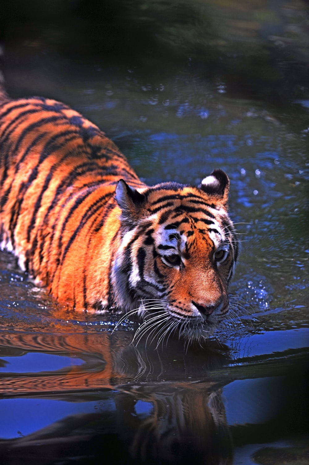 shallow focus photography of brown and black tiger