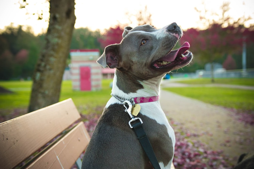 black and white american pitbull terrier sitting on brown wooden bench during daytime