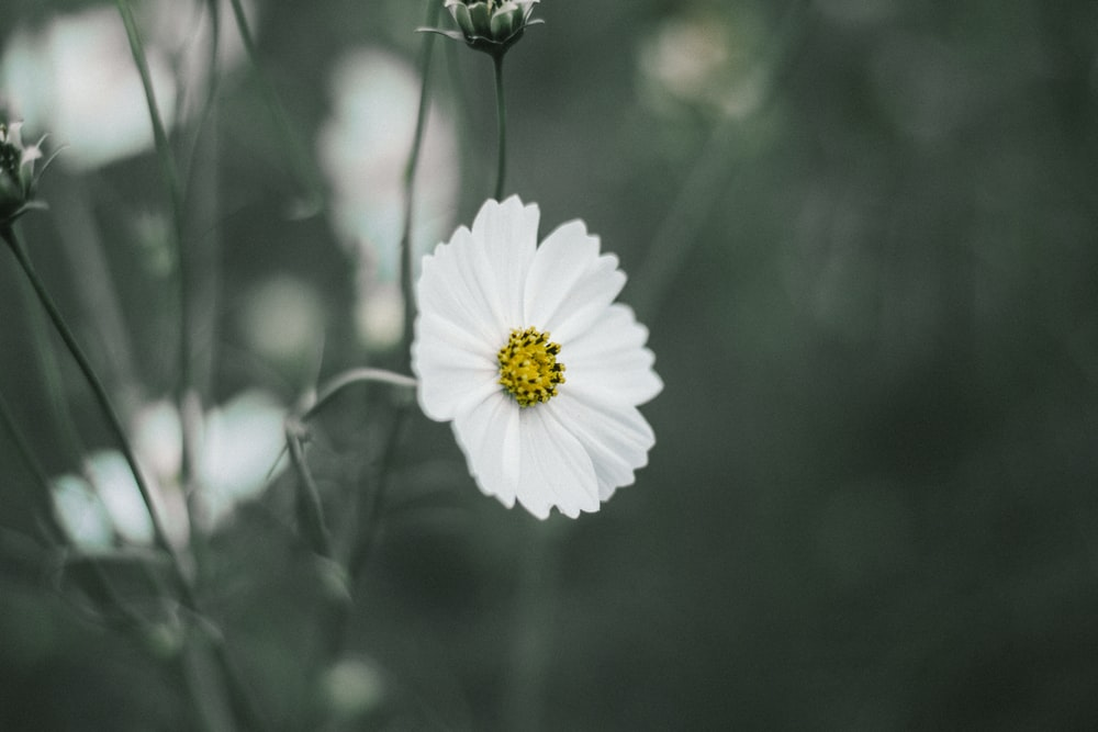 selective color photo of white daisy flower