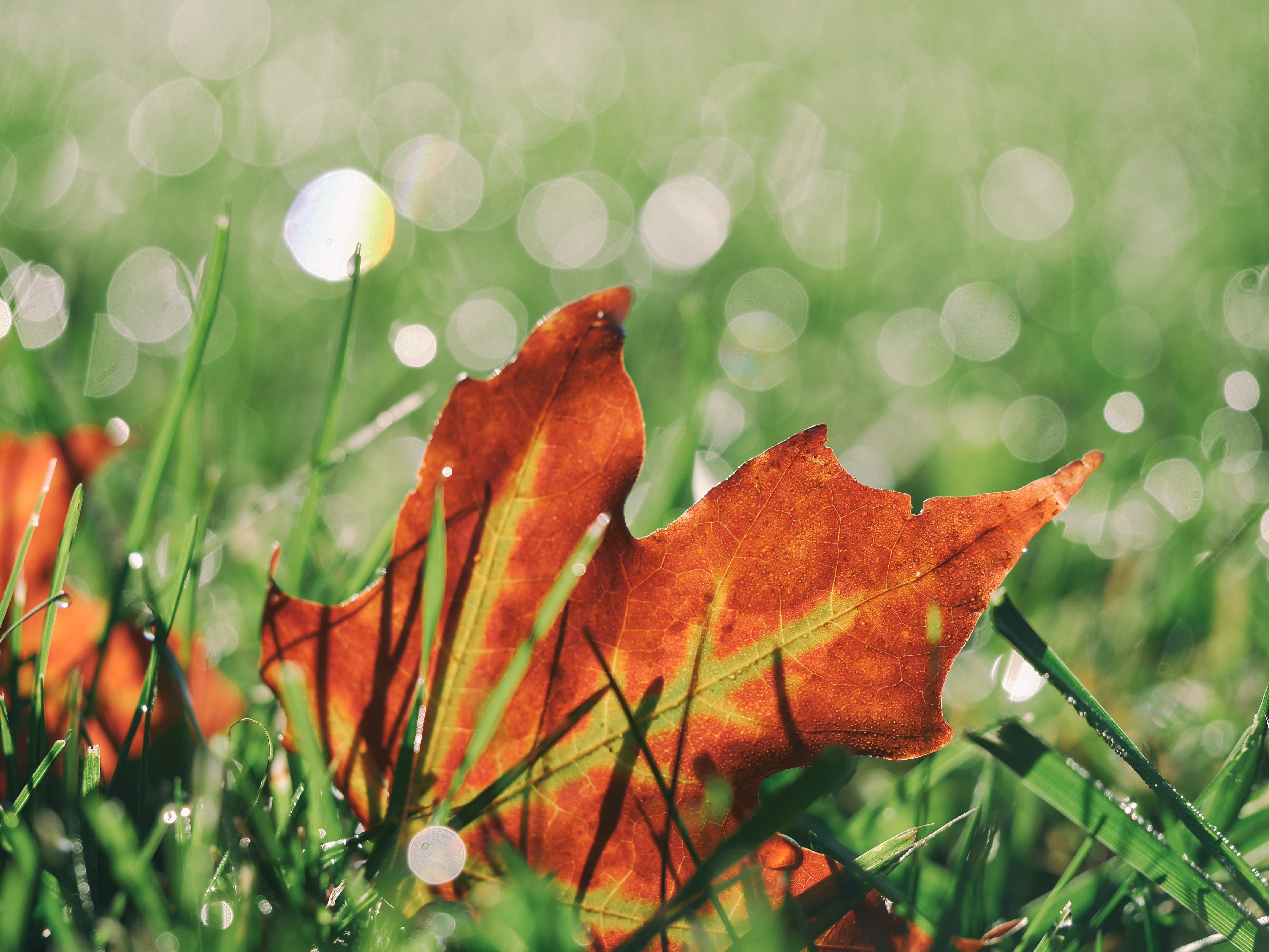 macro photo of red maple leaf on grass