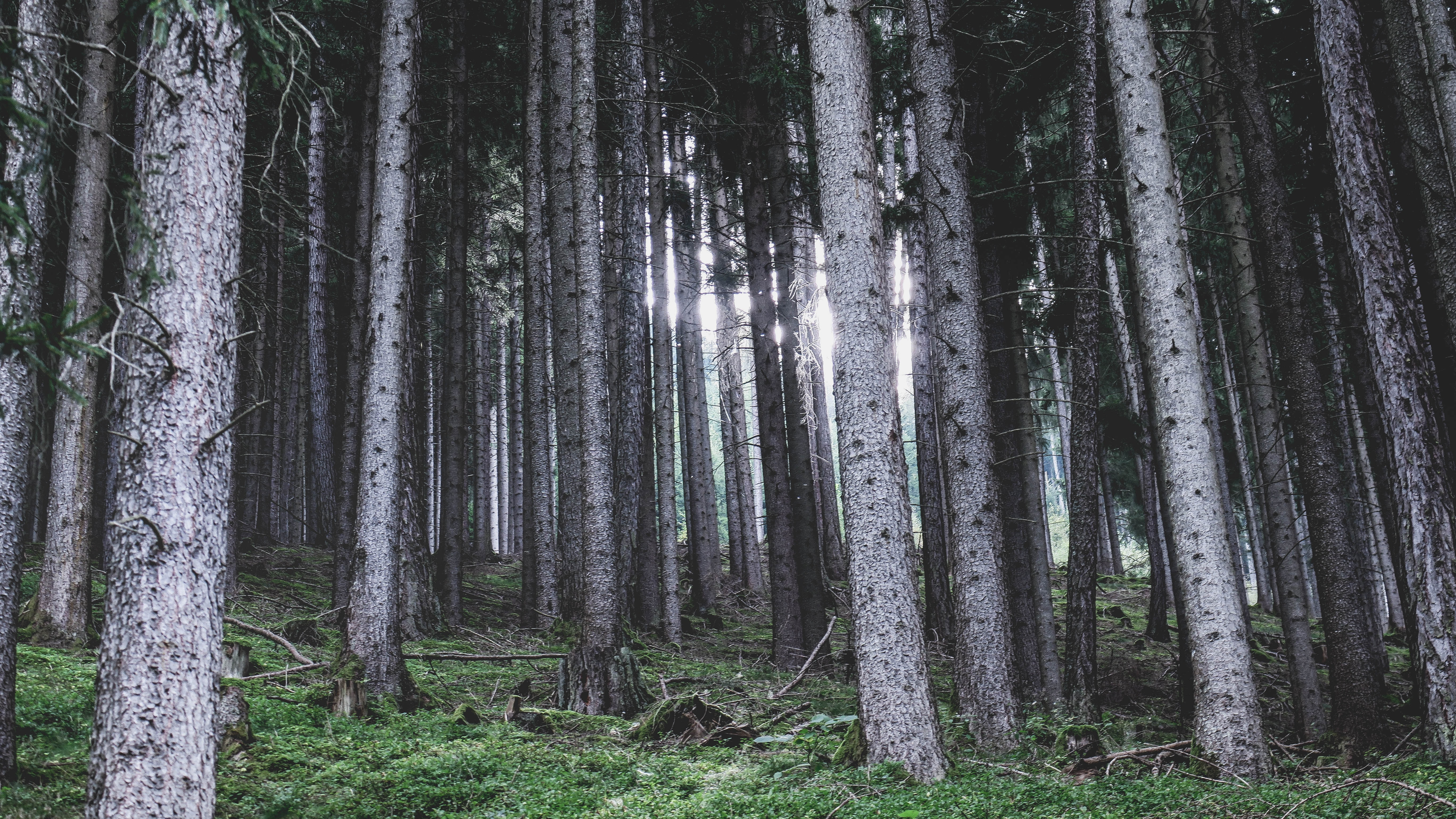 View on tall gray tree trunks on a mossy slope