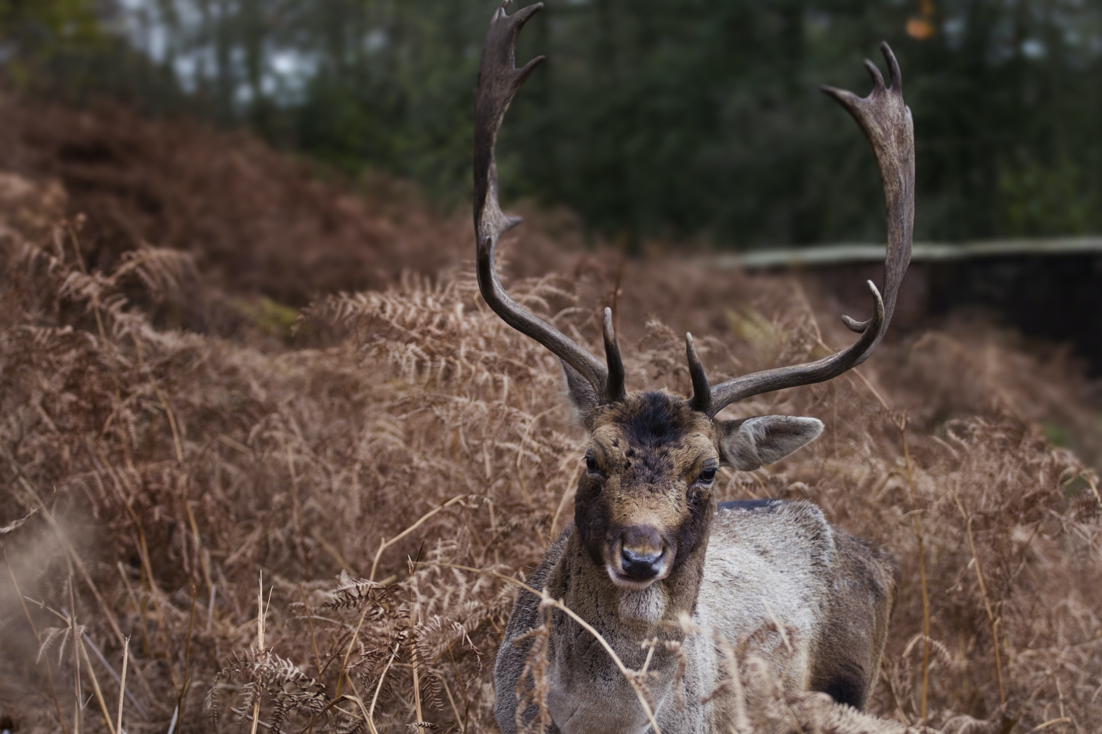buck surrounded by brown plants