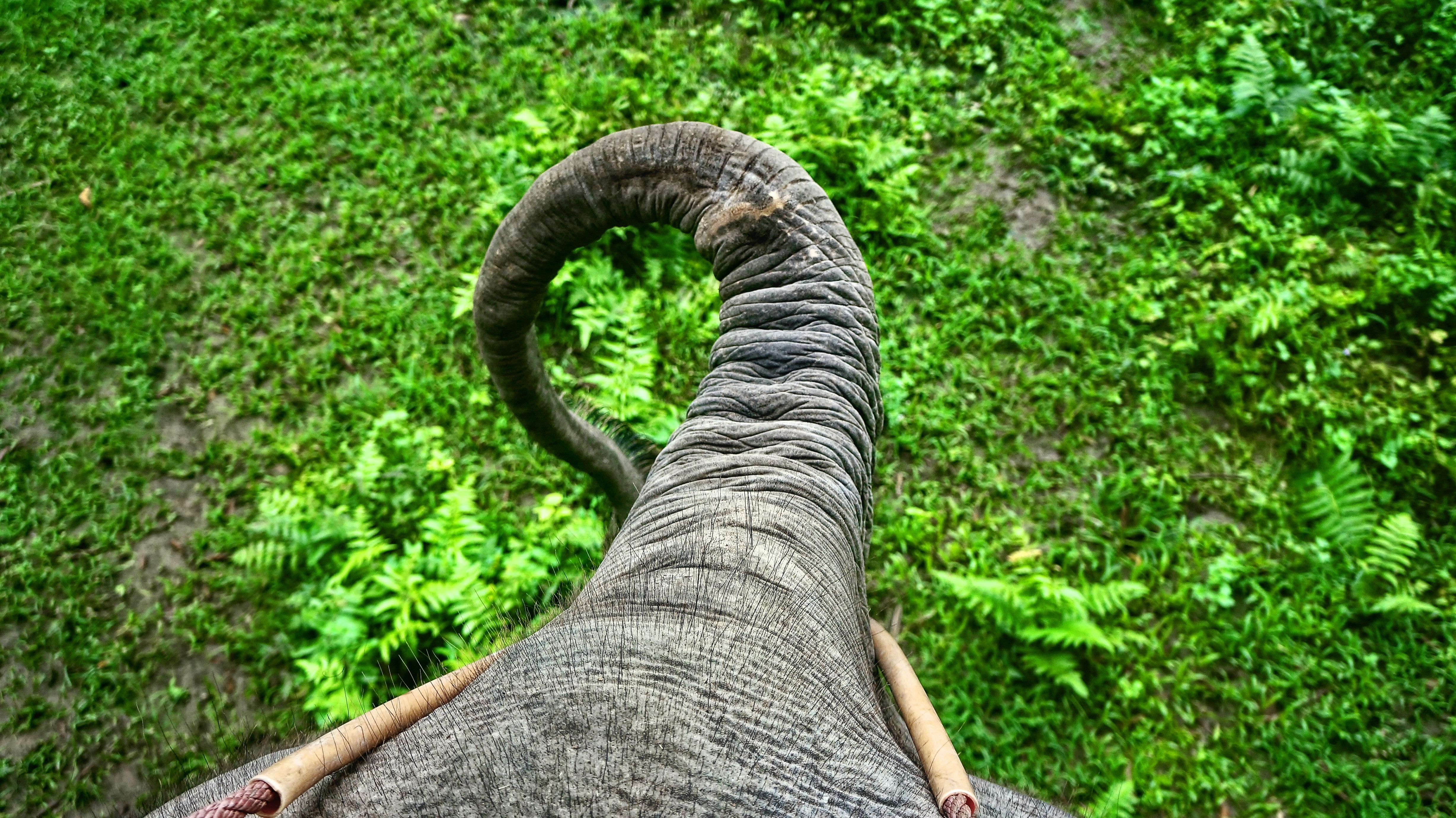 View from an elephant's back on its long trunk