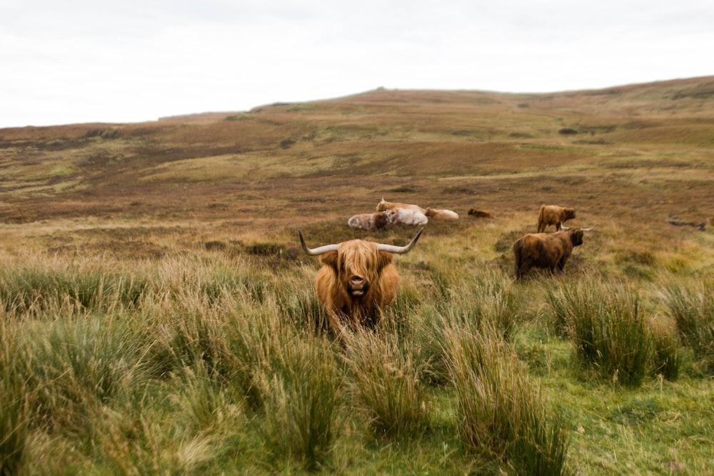 bison standing on green grass
